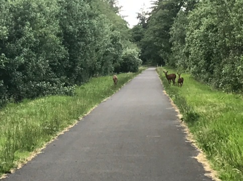 Concerned deer on the bike path to Fort Stevens National Park